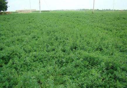 可以在甘肃种植的护坡草种子有几个品种