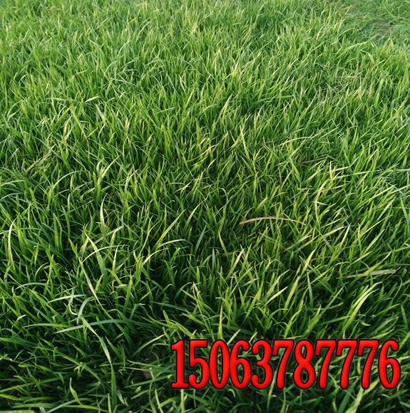 成武县绿化护坡用什么草好