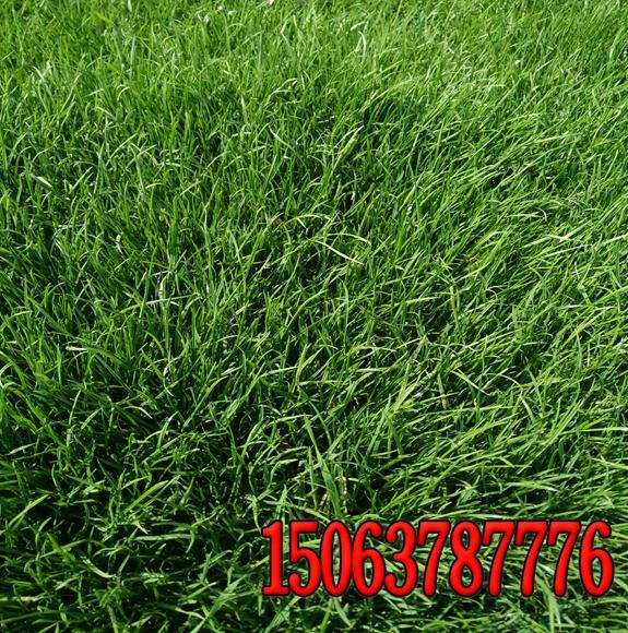 黑麦草护坡报价 种子
