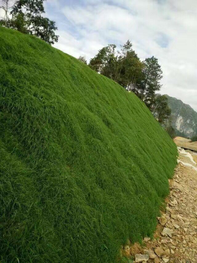 河道边坡绿化草种厂家