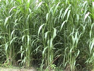 批发禽类养殖牧草种子