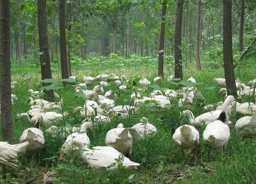禽类牧草种子批发 价格