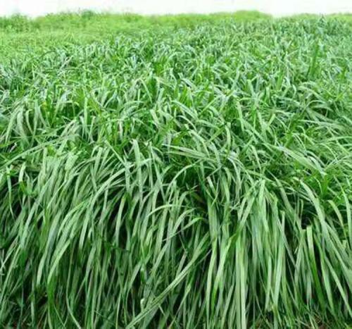 草种草籽供应批发采购