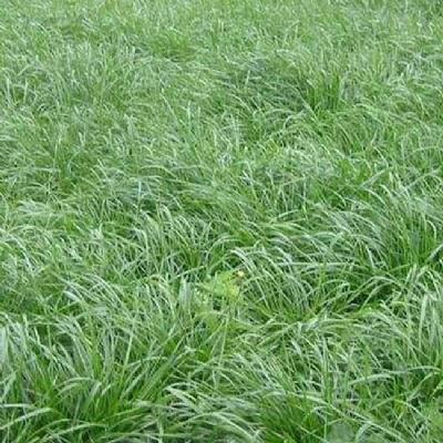 黑麦草种批发厂家 价格