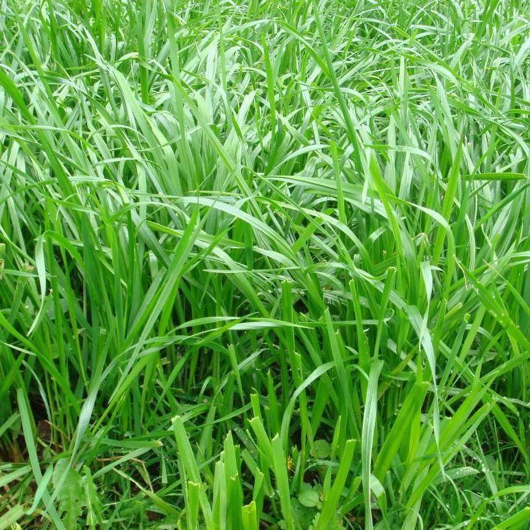 黑麦草种子批发去哪里进货