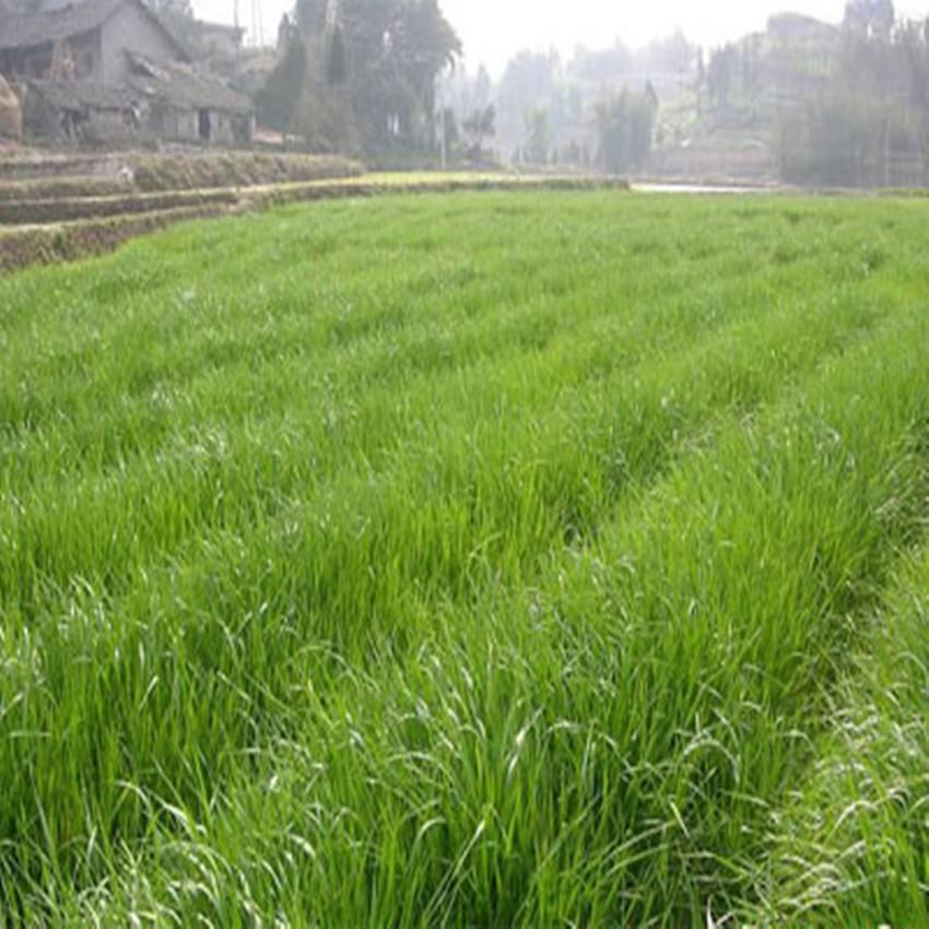 批发优质多年生高丹草草种