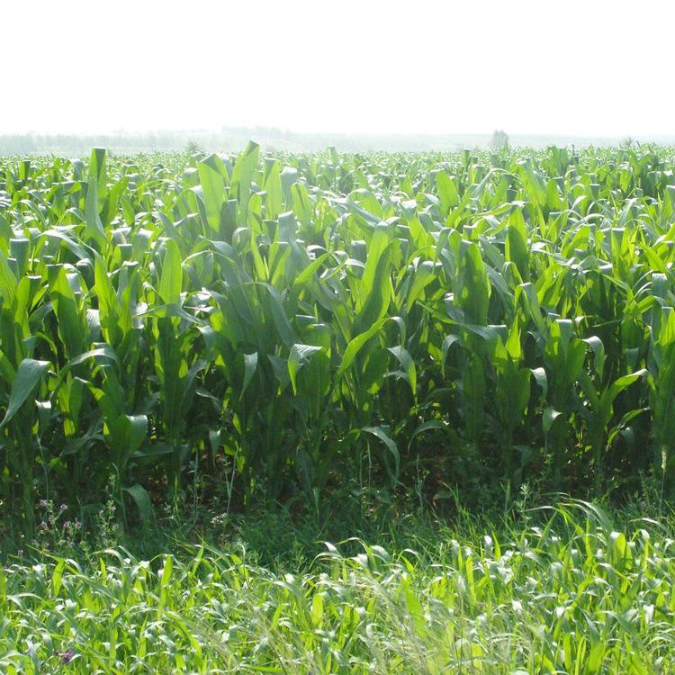 批发草种墨西哥玉米