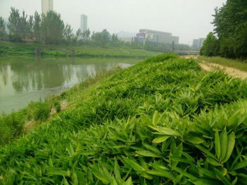 河堤边坡绿化草种子批发