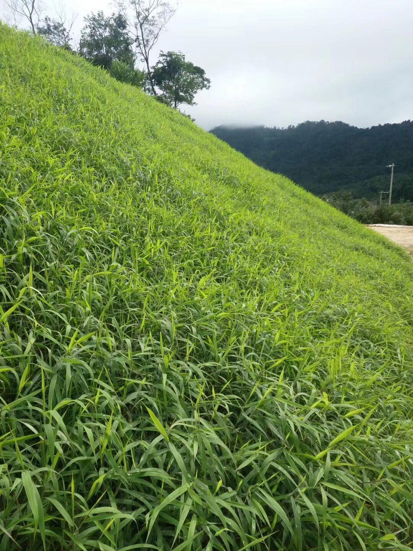 草种子护坡护坡种子批发市场