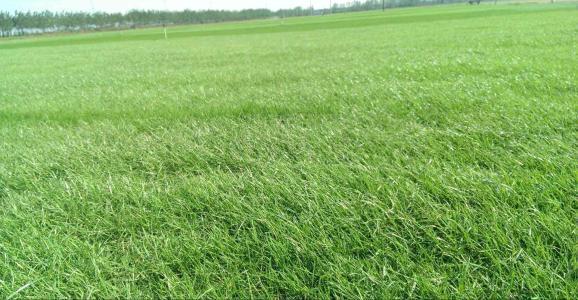 一片绿色草坪是每个花园不可或缺的标配之一除了绿化美化、调节小气候等诸多的功能草坪的存在还多了一分空间感  置身其中,心境也会不由地开阔起来。根据草坪草对温度不同的适应性来区别可分为冷季型和暖季型草坪草。    冷季型草坪草适宜的生长温度在15℃-25℃之间,耐寒性强,当气温高于30℃时,生长缓慢或休眠。在长江流域附近及以北地区,气温相对凉爽,可以用冷季型草坪草来建植草坪。    冷季型草坪草主要包括:  羊茅属  早熟禾属  黑麦草属  剪股颖属   其他冷地型草    一、羊茅属 高羊茅  紫羊茅 1、高羊茅(苇状狐茅) 形态特征:疏丛型;叶宽,叶鞘开裂、基部红色,叶耳小。  生活习性:抗性好,适应性强;整齐度差。  分布:主要分布于北方地区,中国东北和新疆地区;欧亚大陆也有分布。  应用:绿化草坪、防护草坪、运动场。
