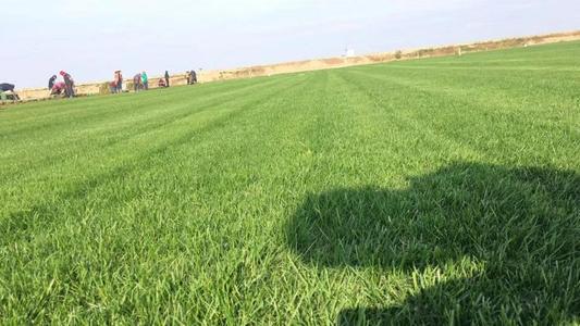 常用混播草坪草种比例
