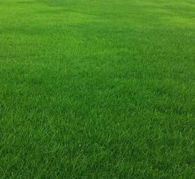 四季青混播草坪