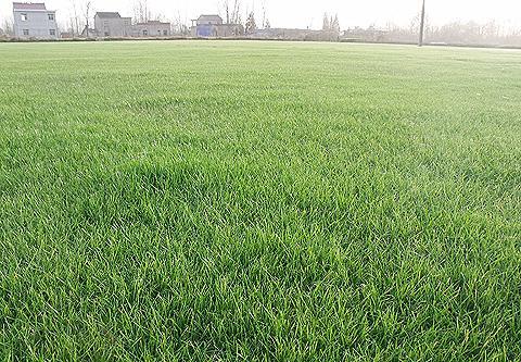 混播草坪多少钱一个平方
