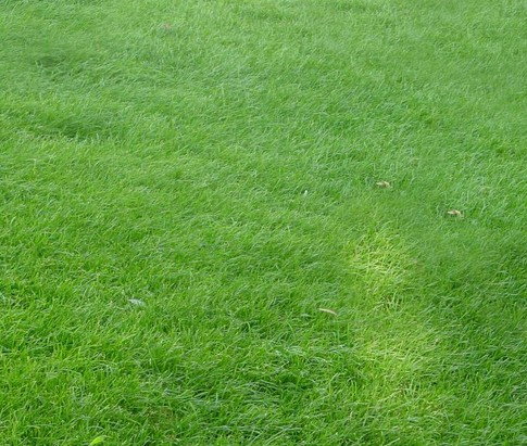 混播草坪有草皮吗
