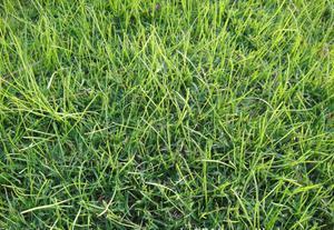 根据观察,一般种子在播后5~7 天发芽,10 天左右齐苗,60 天可达到坡面覆盖率85%以上的要求,前期(20 天左右)的景观以草被为主,灌木多数隐于草丛中。如果是在秋、冬季和初春施工,气温低于15 ℃,则以黑麦草发芽生长为主,狗牙根与灌木种子发芽后生长较慢,景观上表现为黑麦草为主。1个月后灌木多数高出草被,表现为草、灌共生的景观。不同处理灌木生长的比较,苗期生长速度从快到慢依序为木豆→山毛豆→罗顿豆→银合欢→多花木兰→紫穗槐→车桑子,据播后第31天的调查结果显示,木豆高度为50~60 cm,山毛豆25~35 cm,罗顿豆20~30 cm,银合欢15~20 cm,多花木兰8~15 cm,紫穗槐6~10 cm,车桑子3~6 cm。2个月后高度以木豆最高,可达150 cm;山毛豆与罗顿豆相近,在60~90 cm,长相较整齐;银合欢与多花木兰则株形高低不一,差别较大;紫穗槐与车桑子的高度分别为20~43 cm和12~22 cm,生长较慢。3个月后株高仍为木豆第一,可达200 cm,其次为银合欢,达170 cm,第三为罗顿豆,达150 cm,其余依次为多花木兰(80~130 cm)、山毛豆(90~110 cm)、紫穗槐和车桑子(<60 cm)。山毛豆与罗顿豆开花较早,播后3个月已开花结荚。由于山毛豆与罗顿豆花期接近,两者混播后山毛豆开白花,罗顿豆开黄花,景观上比较美观漂亮。