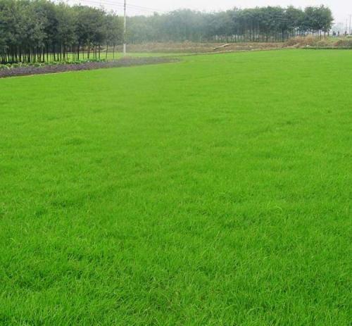 冷季型混播草坪