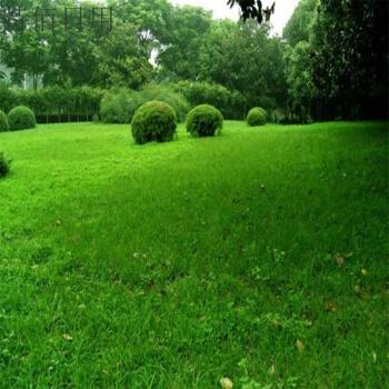 黑麦草混播草坪的病害