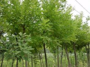 护坡灌木可以用刺槐吗
