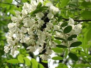 洋槐花种子多少钱一斤