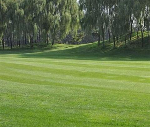 成都混播草坪草种价格是多少钱一斤