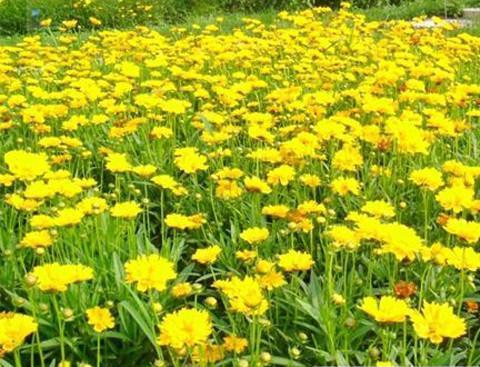 混播草花常见品种有哪些