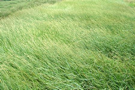 北方适合种植披碱草吗?