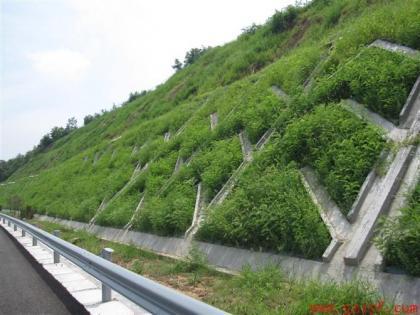 高铁护坡草种