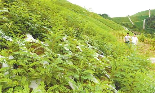 矿山复绿用什么植物好