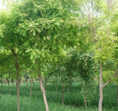 华北地区刺槐种子哪里有卖的