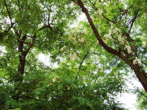 黑龙江刺槐种子多少钱一斤