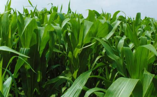 甜高粱牧草种子多少钱一斤