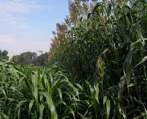 栽培技术     甜高粱播种前,先用农家肥和氮磷钾化肥为底肥,把土地耕作平整,然后,采取点播的方法播种。具体要求是:行距50厘米,株距25厘米~30厘米。坑的深度与种普通高粱的深度相同。每个坑里放 5粒~6粒种子。然后用土把坑埋平。等苗长到30厘米时,定苗一株,拔去多余的苗。苗长到中期时,再施一次肥,不施或少施氮肥,以免影响茎秆的含糖量,以施磷肥和钾肥为主(多施钾肥)。要保持土壤的养分和湿度,适时锄草。收获的方法是:先把叶子劈掉,再用镰刀在距地面30厘米处把茎秆砍断、放倒,把高粱穗砍下来就可以了。甘蔗在凉处存放3天~5天,茎秆的含糖量达到最高。   甜高粱生长在干旱地区,具有抗旱、耐涝、耐盐碱等特性,在全球大多数贫民居住的半干旱地区都可以生长。