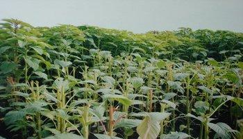 籽粒苋牧草种子哪里有卖的