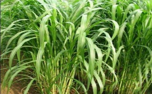 籽粒苋具有耐旱、高产、优质三大特点,适宜于在东北、西南、华中、华北等地区种植,每亩每年可产1万~1. 5万公斤 ,茎叶蛋白质含量平均为18%~20%(其中叶片含量为24%~34%),喂养鹅、猪、兔皆适宜。目前,不少地区用子粒苋喂鹅取得了显著效益,每亩子粒苋可养鹅80~120只。用子粒苋喂鹅时要注意以下关键技术:   不同周龄鹅饲喂青饲料的量不同,1~10周龄内青饲料在配合饲料中的比例逐渐增加,由40%逐渐增至80%;10~13周龄为催肥期,青饲料比例要逐渐下降,由80%降至40%。   配合饲料中豆饼不可少,豆饼要占20%,比例低了对鹅的生长不利。   青饲料以子粒苋为主,与苦荬菜、水稗等搭配饲喂效果更好。子粒苋主要增加鹅的蛋白质营养,苦荬菜有抑制病毒作用,水稗可提高饲草的适口性,将3种青饲料混合切碎再拌上豆饼、玉米粉、糠皮、维生素及少量食盐等饲喂。   雏鹅每天喂7~8次,大鹅每天喂4~5次。不宜放牧,圈喂的鹅比放牧的鹅生长速度快。   为了使鹅绒丰满、质量高,喂养期必须达到4个月才可出栏。