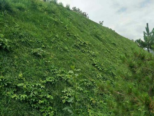 矿山复绿沙打旺草草种