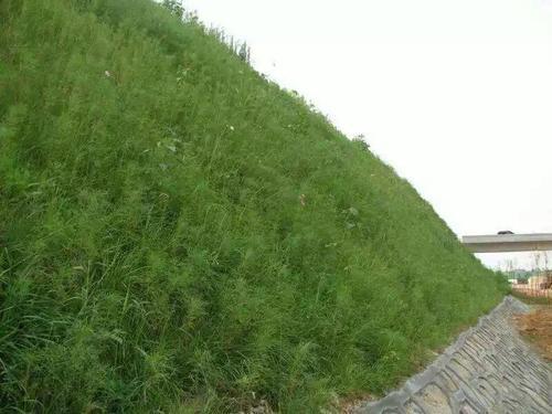 河堤护坡一般用什么草种