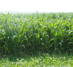 墨西哥玉米草种子