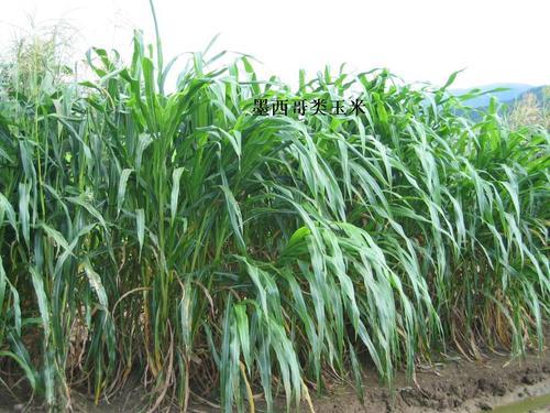 墨西哥玉米草种子去哪里买