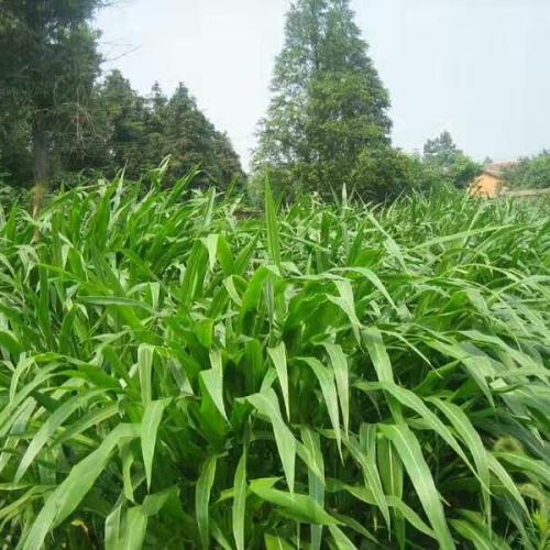 墨西哥玉米草种子喂牛可以吗