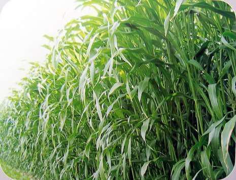 高丹草种子
