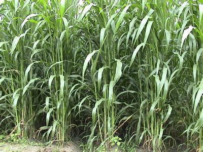 高丹草种子一斤多少钱