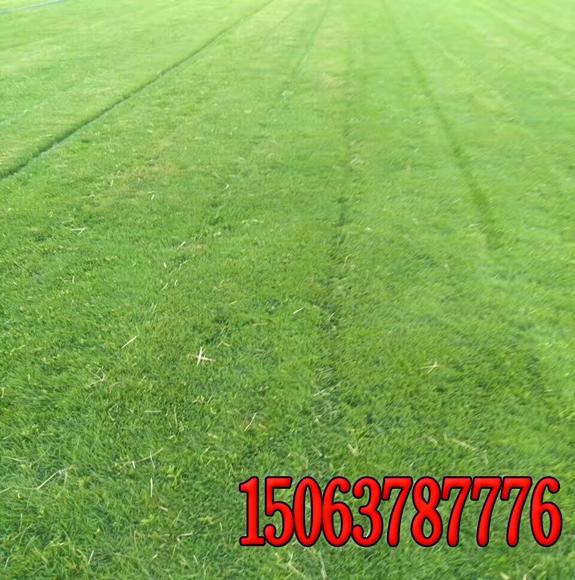 护坡的草籽多少钱一斤