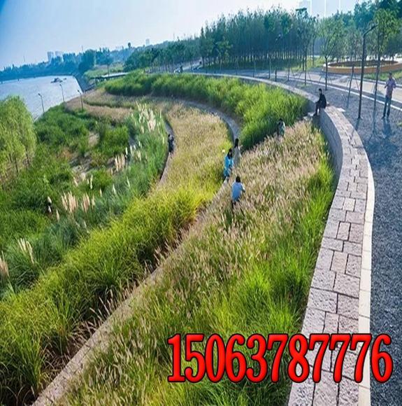 浙江护坡草籽