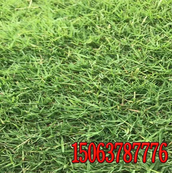 护坡草皮种类