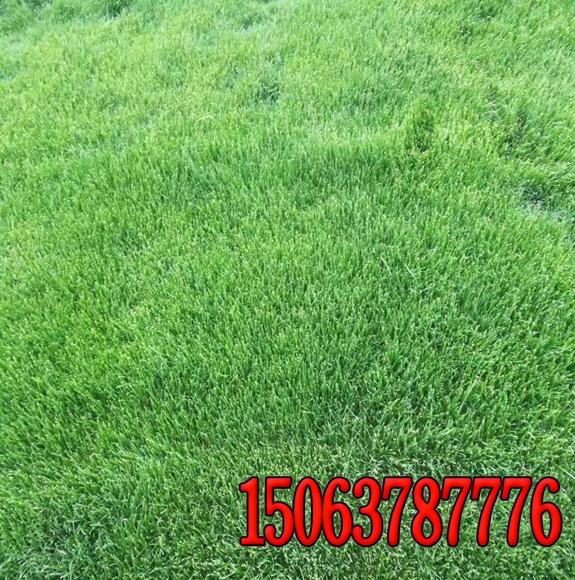 绿化草籽品种图片