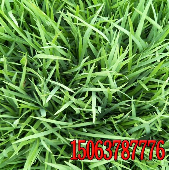 绿化小区春夏适合种什么草籽好