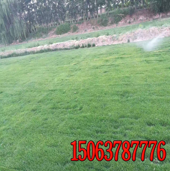 山东潍坊出售绿化草坪草籽