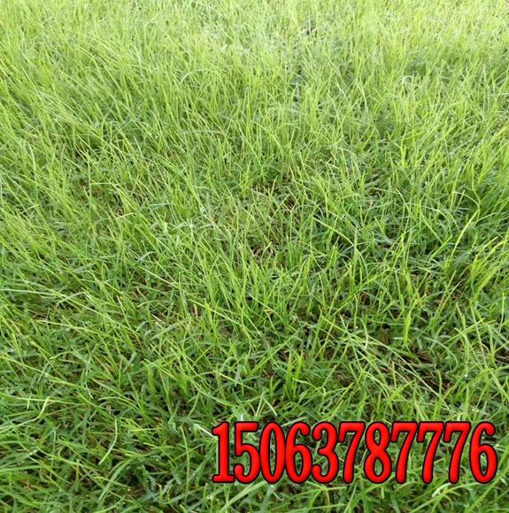 哪批发的绿化草籽