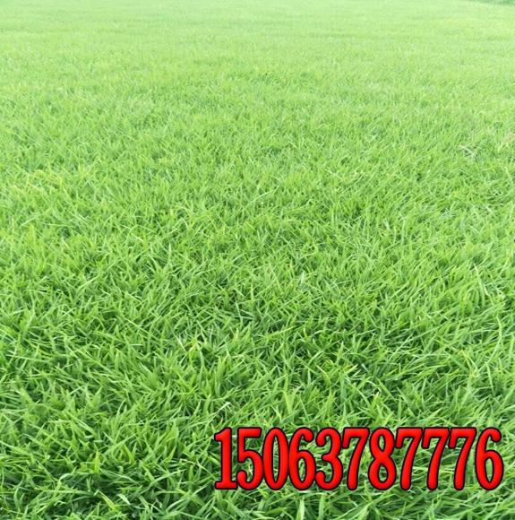 绿化草坪用的哪几种草籽呀