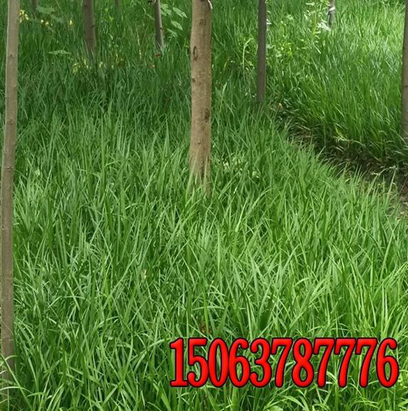 绿化铁路白三叶草籽